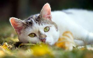 Бесплатные фото кошка,уши,взгляд,осень,листья,природа,кошки