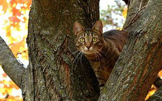 Бесплатные фото кот,порода,шерсть,окрас,дерево,осень,листья