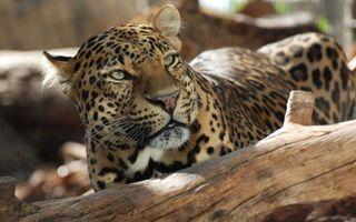 Бесплатные фото леопард возле коряги,взгляд,коряга,задумчивость,животные