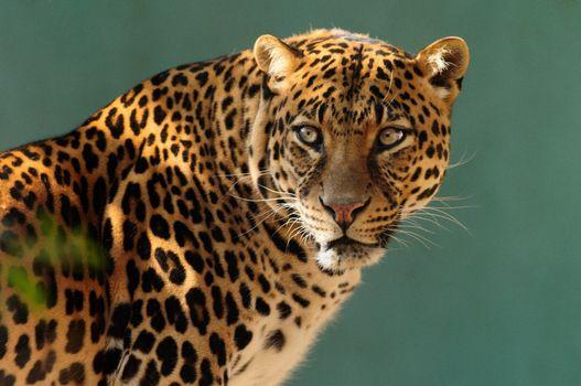 Фото бесплатно леопард, зверь, хищник, окрас, пятнышки, шерсть, глаза, усы, нос, рот, животные