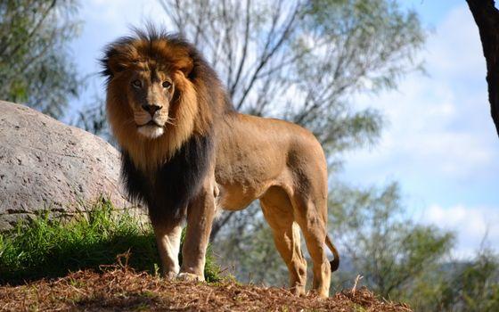 Фото бесплатно лев, грива, валун