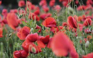 Заставки мак,цветки,лепестки,листья,поле,луг,бутоны