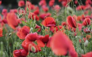 Photo free poppy, flowers, petals