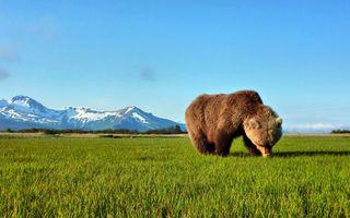 Фото бесплатно медведь, бурый, шерсть
