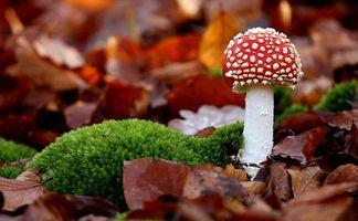 Заставки мухомор, гриб, лес, поляна, опушка, мох, листья, осень, ножка, шляпка, красный, точки
