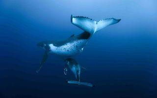 Бесплатные фото океан,рыба,кит,китенок,плавники,хвост,подводный мир