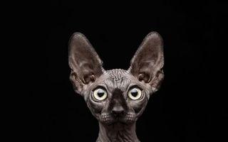 Бесплатные фото сфинкс,лысый,морда,уши,глаза,морщины,кошки