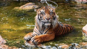 Фото бесплатно тигр, хищник, купается