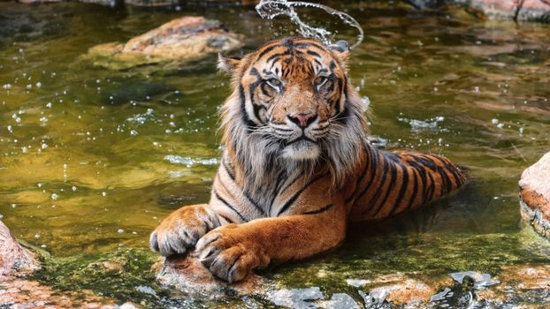 Photo free tiger, predator, bathe