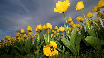 Бесплатные фото тюльпаны,желтые,много,поле,небо,трава,зеленая