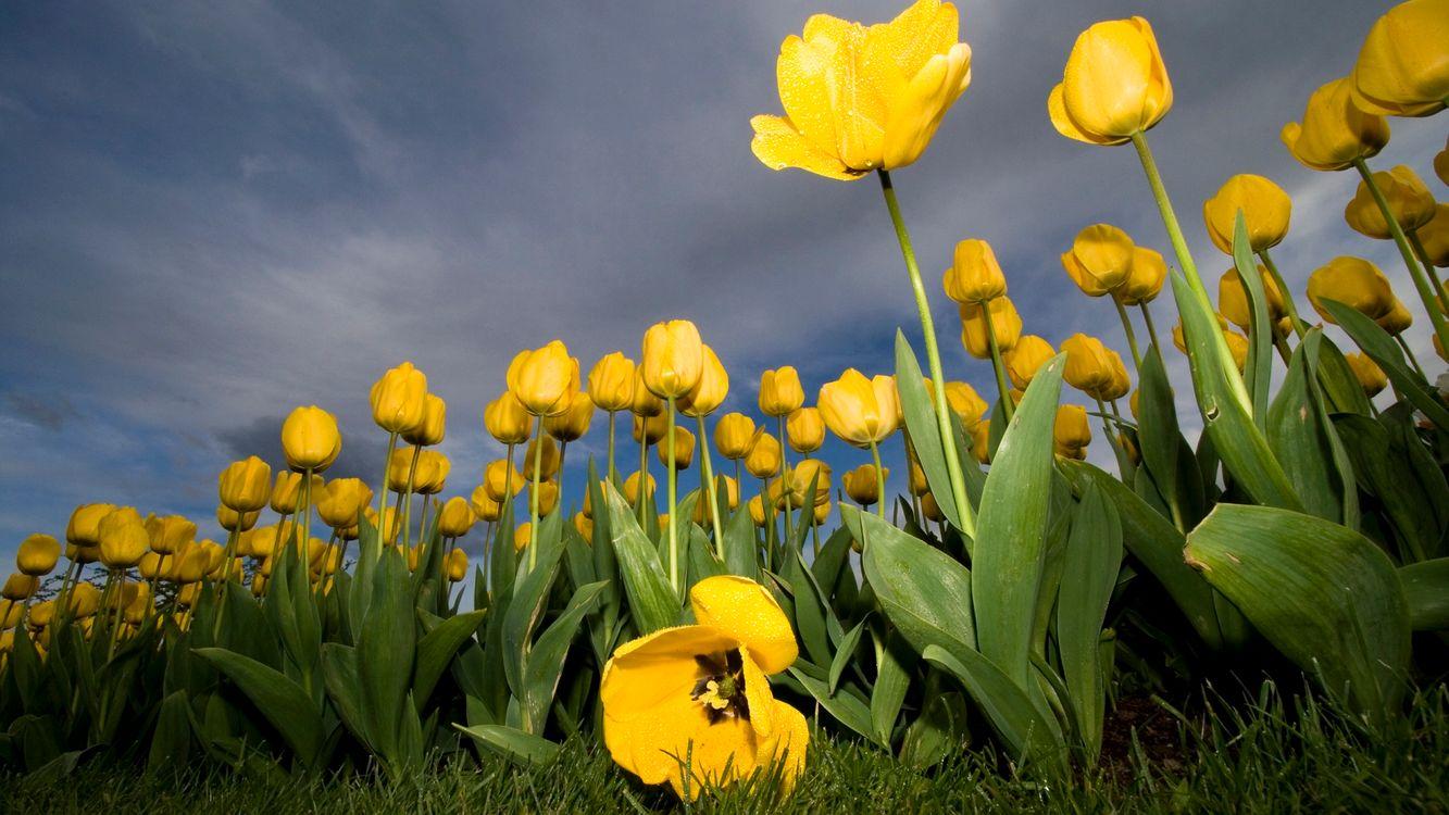 Фото бесплатно тюльпаны, желтые, много, поле, небо, трава, зеленая, цветы, цветы