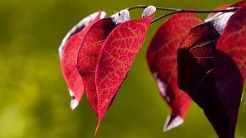 Фото бесплатно ветка, листья, красные, осень, дерево, парк, лес, зеленый, фон, жилки, фото, макро, природа