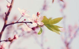 Бесплатные фото вишня,цветки,лепестки,весна,тепло,солнце,листья