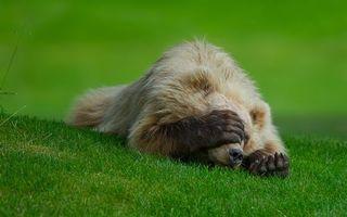 Бесплатные фото медведь,спит,на траве,газон,лапа,морда,животные