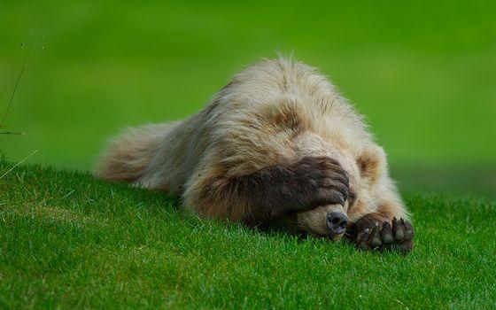 Заставки медведь, спит, на траве