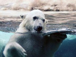 Заставки медведь, белый, в воде