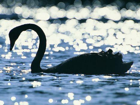 Бесплатные фото лебедь,на воде,разное