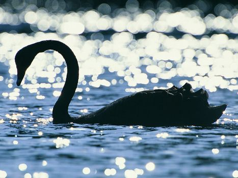 Photo free swan, on the water, miscellaneous