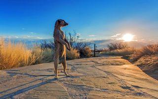 Фото бесплатно африка, сурикат, солнце