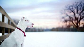 Бесплатные фото дог, белый, забор, снег, зима, природа, собаки