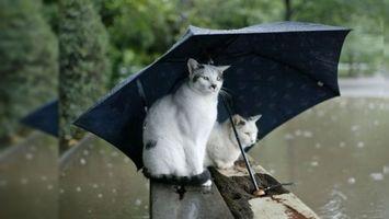 Фото бесплатно два, кота, зонт
