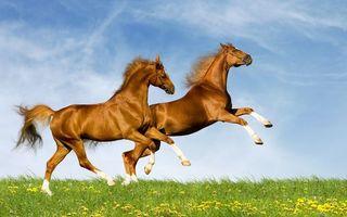 Заставки кони, лошади, резвятся, хвосты, гривы, красавцы, поле, трава, одуванчики, животные