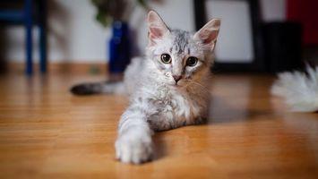 Заставки кот, котенок, лапа