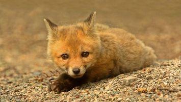 Бесплатные фото лиса,глаза,уши,лапы,нос,шерсть,животные