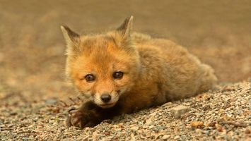 Photo free fox, eyes, ears