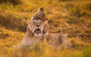 Photo free lioness, lion cub, hug