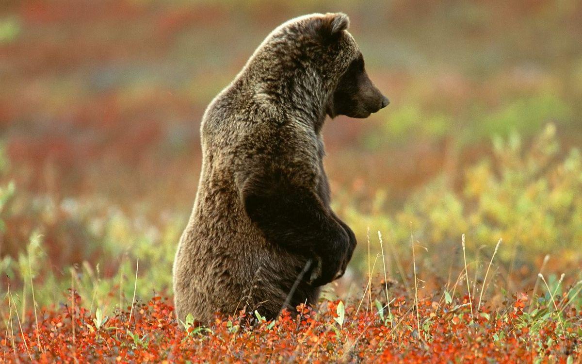 Фото бесплатно медведь, стоит, лапы - на рабочий стол
