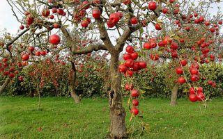 Обои яблоки, деревья, сад, урожай, спелые, красные, еда, природа