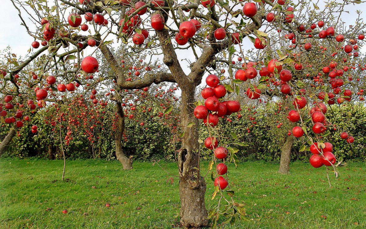 Фото бесплатно яблоки, деревья, сад - на рабочий стол