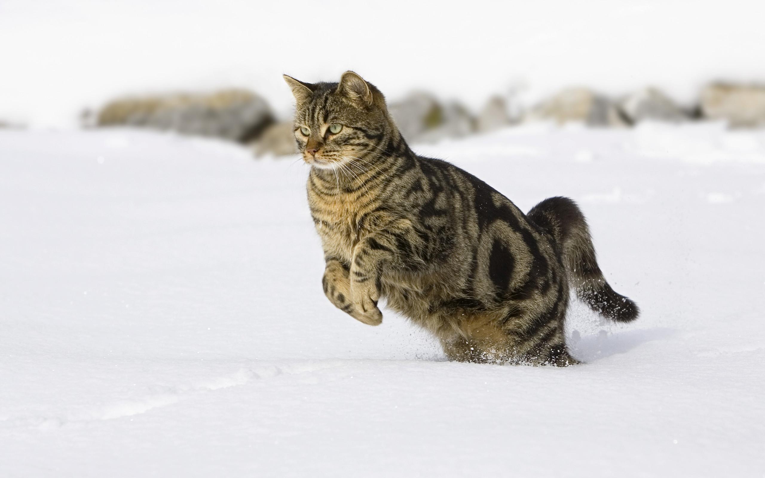 Кот на охоте охотится зимой снег