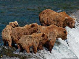 Фото бесплатно медведи, море, волна