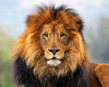 Заставки лев,хижак,кішка,африка,дивиться,грива,цар,животные,кошки