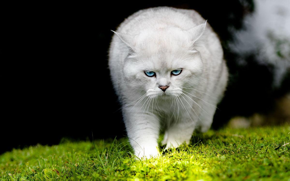 Картинка кот, белый, взгляд, глаза, голубые, трава, кошки на рабочий стол. Скачать фото обои кошки
