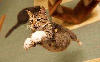 Бесплатные фото кот,зубы,полет,прыжок,лапы,шерсть,порода