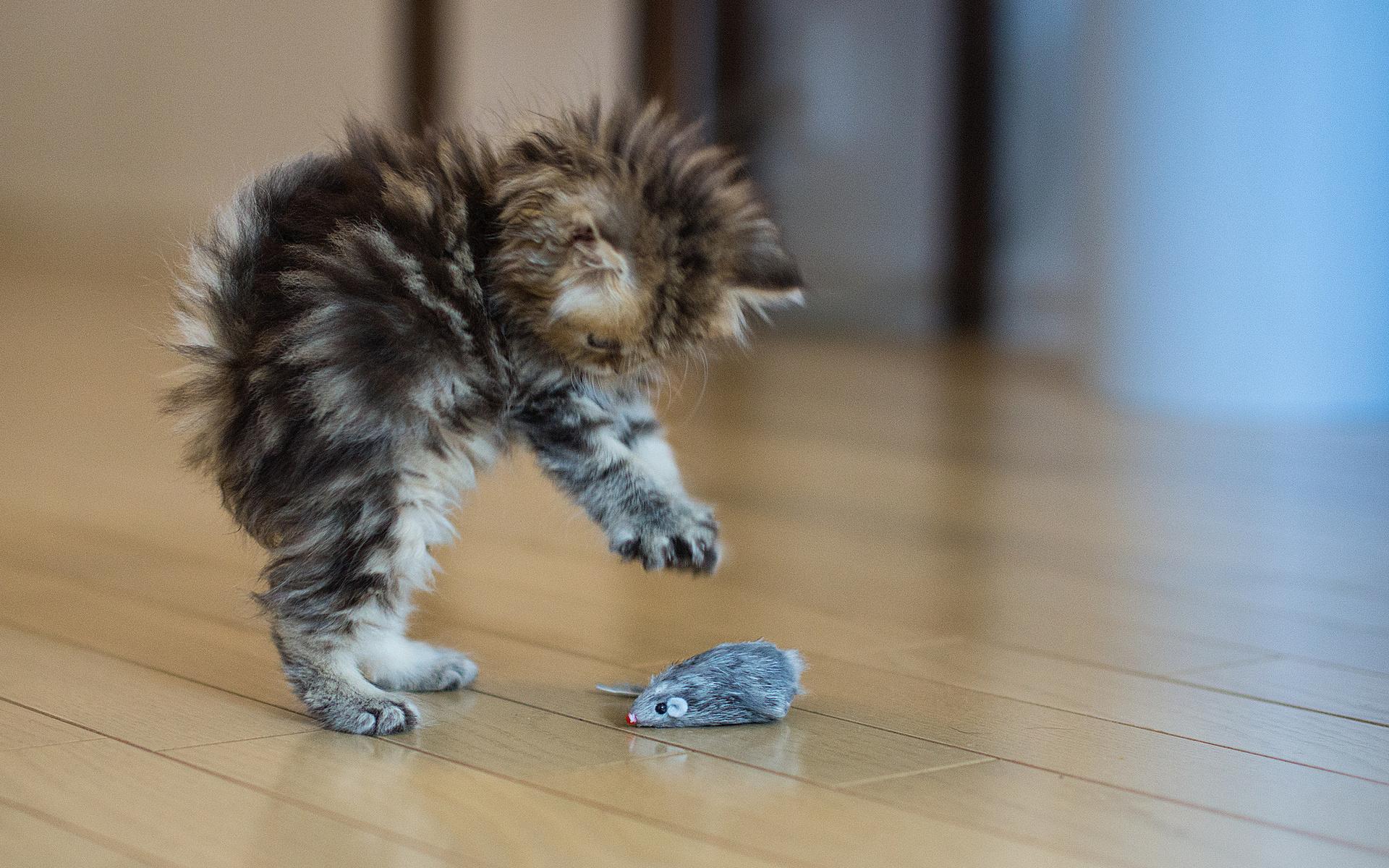 Обои котенок, пушистый, когти, мышка