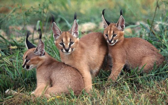 Photo free kittens, caracals, lynx