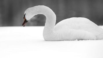 Photo free swan, white, feathers