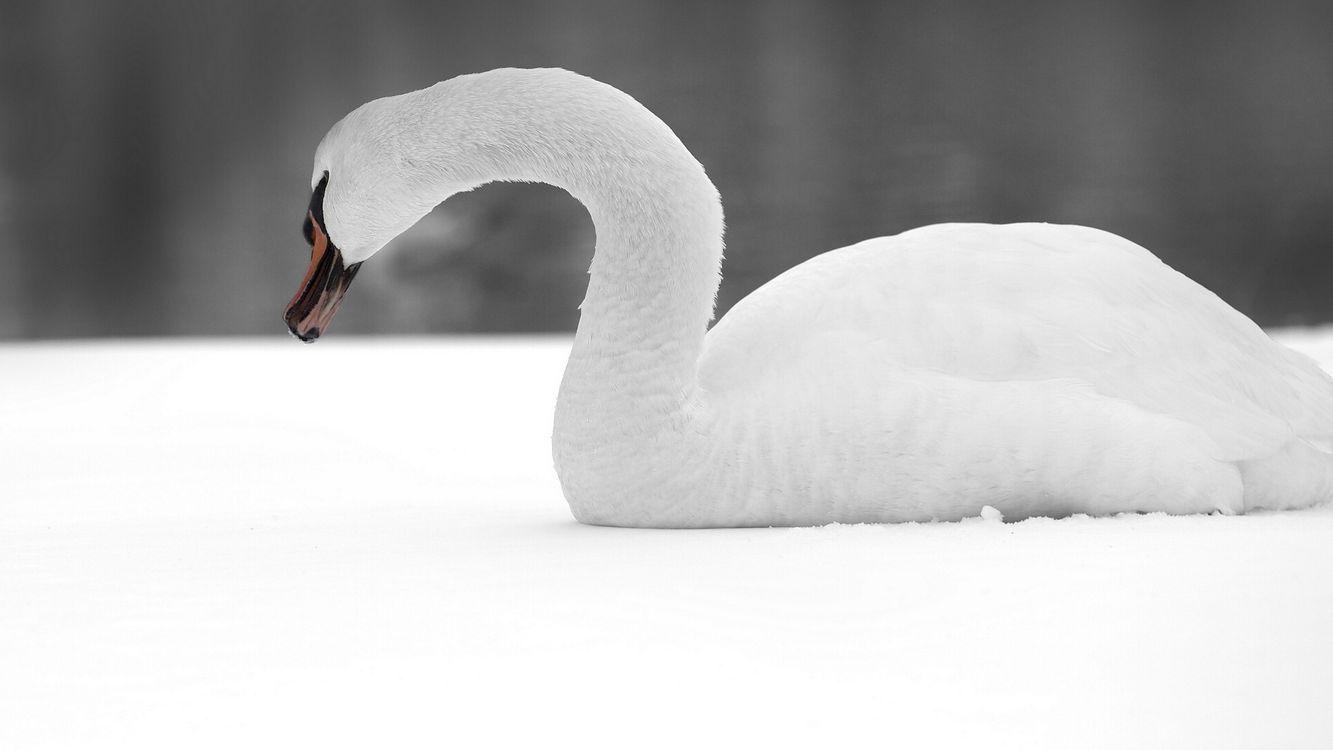 Фото бесплатно лебедь, белый, перья - на рабочий стол