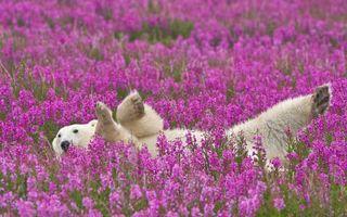 Бесплатные фото медведь,белый,полярный,лапы,морда,шерсть,цветы