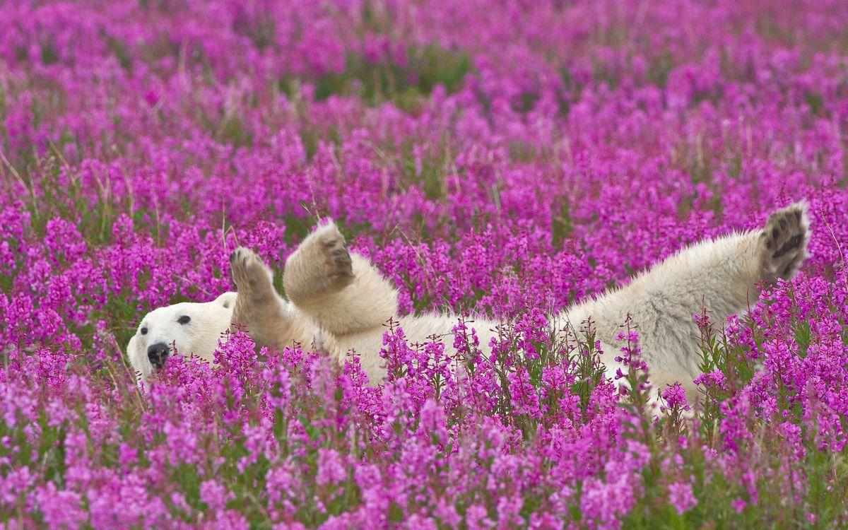Фото бесплатно медведь, белый, полярный, лапы, морда, шерсть, цветы, животные, животные