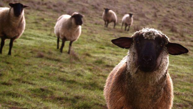 Бесплатные фото овцы,несколько,трава,холмы,стоят,уши,животные