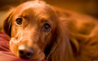 Бесплатные фото пес,щенок,грустный,взгляд,глаза,нос,усы