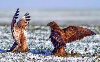 Фото бесплатно поле, снег, орлы
