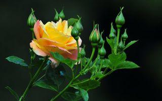 Обои роза, лепестки, шипы, бутоны, цветки, листья, стебель, фон, черный, фото, цветы