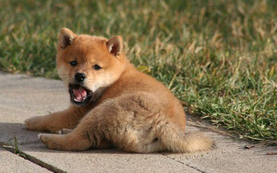 Фото бесплатно щенок, рыжий, пушистый