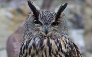 Photo free owl, eagle owl, ears